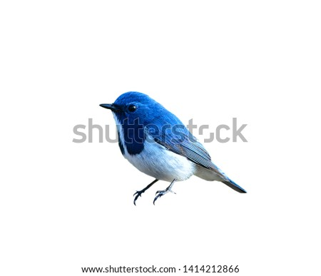 Beautiful Blue Bird, Ultramarine Flycatcher, on white background #1414212866