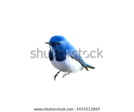 Beautiful Blue Bird, Ultramarine Flycatcher, on white background #1414212869
