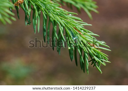 nature branches of coniferous trees in the forest #1414229237