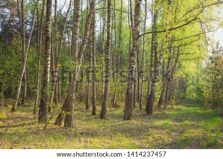 Spring landscape with birch grove. Nature in the vicinity of Pruzhany, Brest region, Belarus. #1414237457