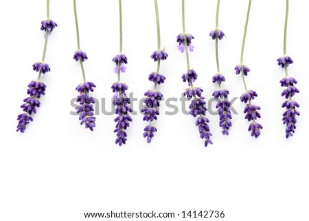 bunch of lavender on white background #14142736