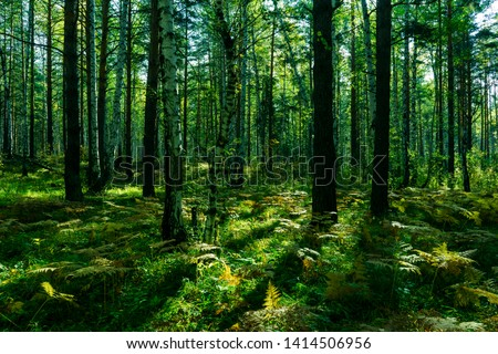 Scenic Forest of Fresh Green Trees, Morning in the Forest, Beautiful Park, Summer Landscape, Birch Grove Summertime Spruce Forest Landscape #1414506956