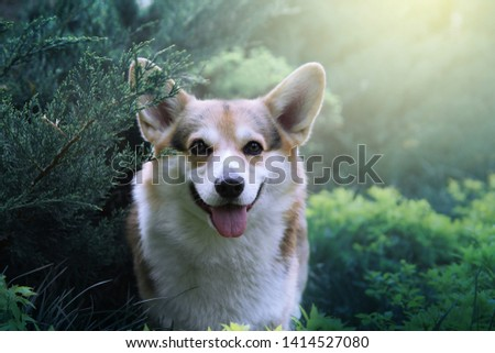 Cute welsh corgi pembroke outdoor spring/summer portrait. Happy and healthy smiling dog walking off leash in a green park. Sunny day, picture with sun flare and bokeh.