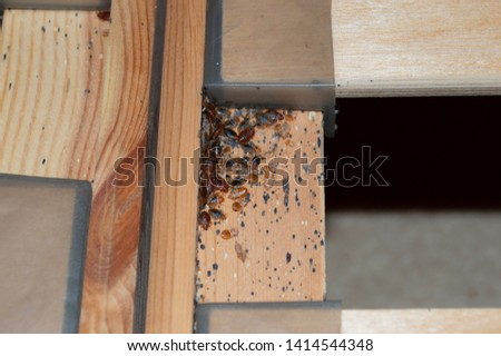 Bedbugs (Cimex lectularius) on slatted wooden bed frame in residential bedroom setting, revealed by pest control specialist preparing to treat and eliminate with pesticide treatments.