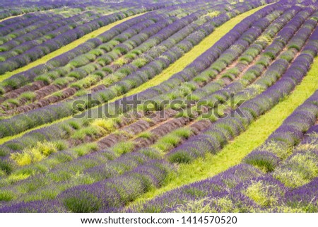 Lavender field in blossom, Valensole, Provence, France #1414570520