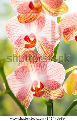 Most commonly grown house plants. Orchids gorgeous blossom close up. Orchid flower pink and yellow bloom. Phalaenopsis orchid. Botany concept. Orchid growing tips. How take care orchid plants indoors. #1414786964