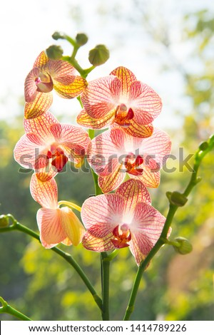 Orchid growing tips. How take care orchid plants indoors. Most commonly grown house plants. Orchids gorgeous blossom close up. Orchid flower pink and yellow bloom. Phalaenopsis orchid. Botany concept. #1414789226