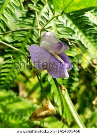 A small pinto peanut flower stock photo #1414895468