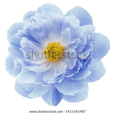 blue peony flower isolated on a white  background with clipping path  no shadows. Closeup.  Nature. #1415365487
