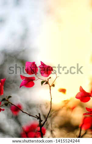 Bougainvillea bougainvillea (scientific name: Bougainvillea) is a semi-perennials shrub type. Size from small shrubs to large shrubs There are thorns along the trunk, single leaves break out, alterna #1415524244