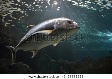 Atlantic bluefin tuna (Thunnus thynnus) underwater  Royalty-Free Stock Photo #1415551118