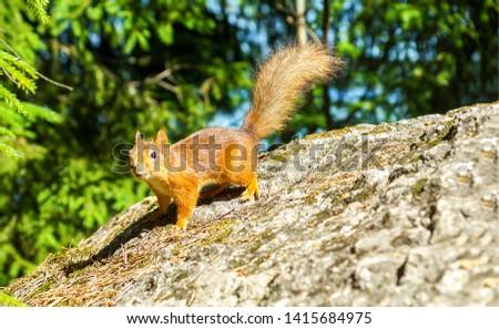 Squirrel on rock in nature. Squirrel portrait. Squirrel in nature. Squirrel in forest