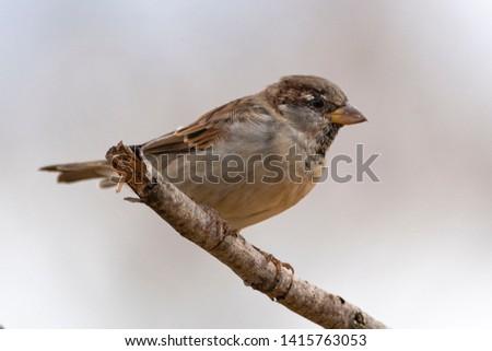 House sparrow (Passer domesticus) Malaga, Spain #1415763053