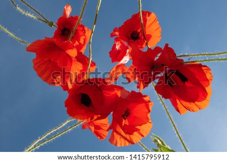 Red poppy flowers against a clear blue sky (picture taken from below)