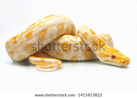 Albino Burmese Python (Python molurus bivittatus) isolated on white background