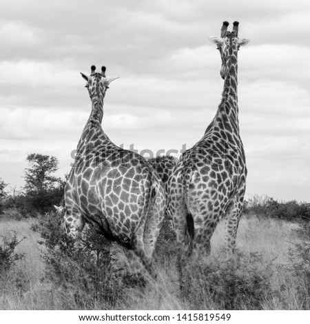 Family group of giraffes  in the bush, photographed in monochrome at Kruger National Park in South Africa. #1415819549
