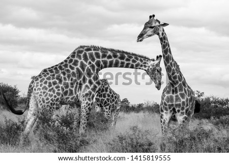 Family group of giraffes  in the bush, photographed in monochrome at Kruger National Park in South Africa. #1415819555