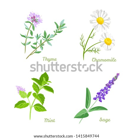 Healing herbs vector illustration set. Thyme, Sage, Chamomile and Peppermint. Medical plants collection in cartoon simple flat style. #1415849744