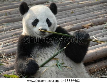 Panda at Chengdu Panda Reserve (Chengdu Research Base of Giant Panda Breeding) in Sichuan, China. The panda bear is eating bamboo. Pandas are born at the reserve. Subject: Pandas, Reserve, Chengdu. #1415869463