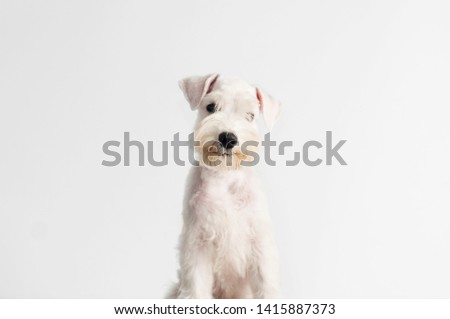 Happy, cute, funny puppy dog Schnauzer isolated on white background.  #1415887373