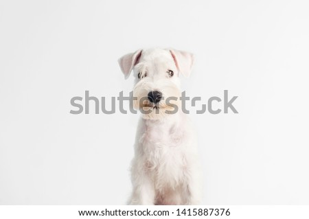 Happy, cute, funny puppy dog Schnauzer isolated on white background.  #1415887376