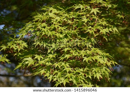 Tree branches of Acer palmatum Sango-Kaku, commonly known as Red Emperor Maple, Palmate Maple, Japanese Maple or smooth Japanese-Maple. Acer palmatum is a deciduous shrub or small tree.   #1415896046