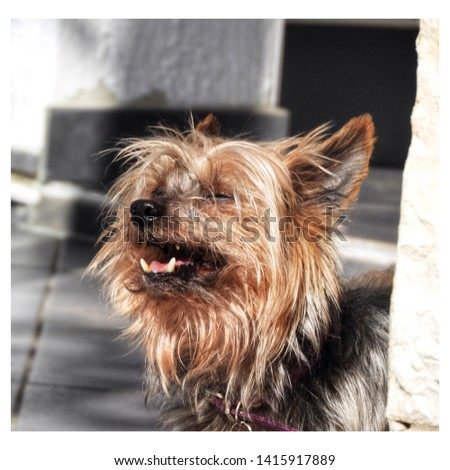 A cute Yorkshire little dog! #1415917889