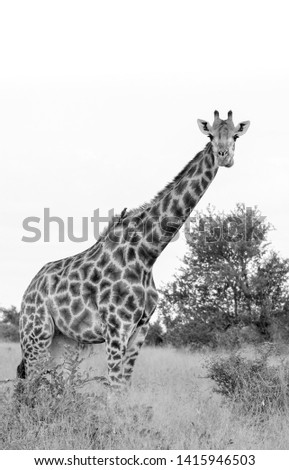 Giraffe in the bush, photographed whilst on safari in monochrome at Kruger National Park in South Africa. #1415946503