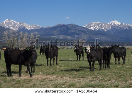 Grazing cattle in spring in the collegiate peaks of Colorado's Rocky Mountains, near Salida and Buena Vista. #141600454