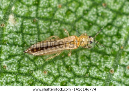 The onion, the potato, the tobacco or the cotton seedling thrips - Thrips tabaci (order Thysanoptera). It is important pest of many plants. #1416146774