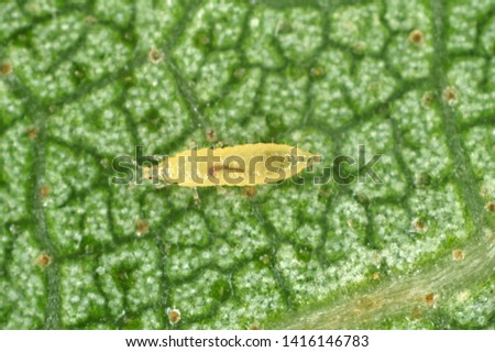 The onion, the potato, the tobacco or the cotton seedling thrips - Thrips tabaci (order Thysanoptera). It is important pest of many plants. #1416146783