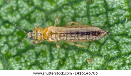 The onion, the potato, the tobacco or the cotton seedling thrips - Thrips tabaci (order Thysanoptera). It is important pest of many plants. #1416146786