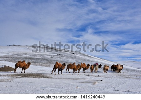 the mongolian kazakhs of western mongolia migrate each year with their herd of camels. horses, sheep, cows and goats in the snowy altai mountain, from camp to camp #1416240449