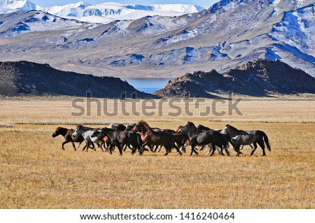 the mongolian kazakhs of western mongolia migrate each year with their herd of camels. horses, sheep, cows and goats in the snowy altai mountain, from camp to camp #1416240464