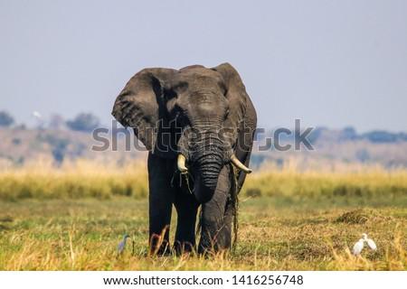 Large male elephant in okavango delta, Botswana Royalty-Free Stock Photo #1416256748