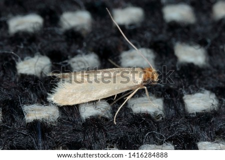 Tineola bisselliella known as the common clothes moth, webbing clothes moth, or simply clothing moth. It is a pest of clothing in homes. #1416284888