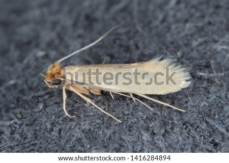 Tineola bisselliella known as the common clothes moth, webbing clothes moth, or simply clothing moth. It is a pest of clothing in homes. #1416284894