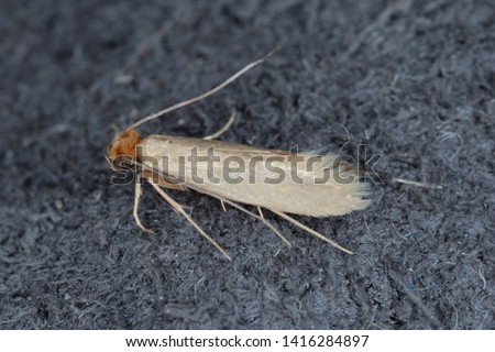 Tineola bisselliella known as the common clothes moth, webbing clothes moth, or simply clothing moth. It is a pest of clothing in homes. #1416284897