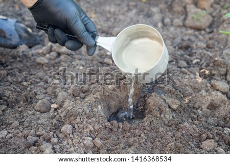 Planting celery seedlings in the ground #1416368534