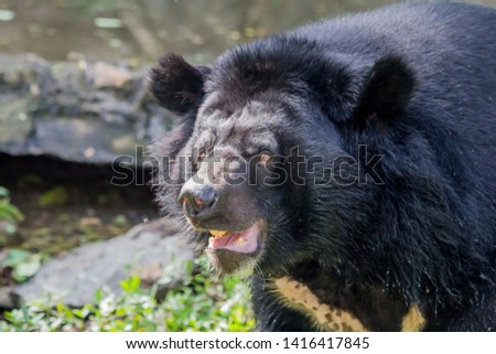 Black bear, cute black bear. #1416417845