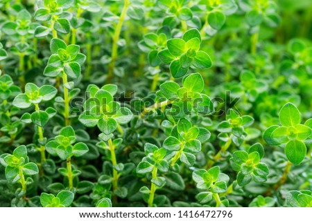 Green Lemon Thyme ( Thymus Citriodorus ) plant, close up macro. Aromatic seasoning cooking ingredient. Thyme herb growing in garden. Organic herbs green thyme plant.  #1416472796