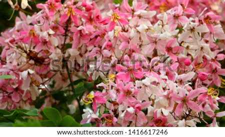 soft focus. Java Cassia, Pink Shower, Apple Blossom Tree,Rainbow Shower Tree,Cassia javanica,Javanese Cassia,Cassia javanica,Leguminosae,Fabaceae,flower. #1416617246
