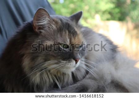 portrait of a grey cat. Norwegian forest cat. Cute norwegian forest cat looking and listening #1416618152