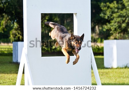 German Shepherd working dog, police K9 unit agility work jumping through window equipment, police canine unit agility training #1416724232