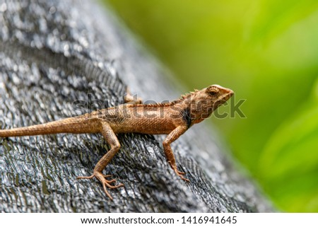 Garden Lizard. Garden_Lizard. Oriental Garden Lizards are agamid lizard found widely in Asian countries. thailand #1416941645