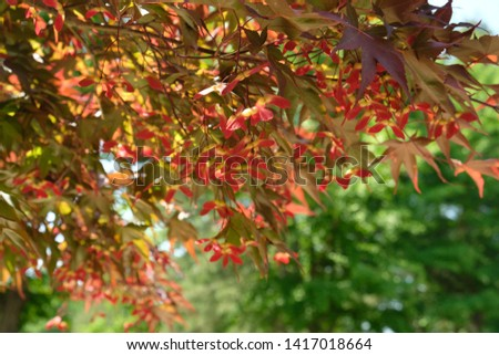 Red maple leaves (Acer rubrum) with lots of yellow and red seeds in Nami Island, Korea #1417018664