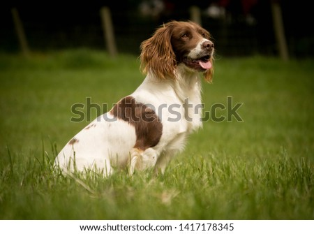 Regal looking pedigree trialling liver and white english springer spaniel dog or gundog sitting and staying in a field near a fence looking at its owner or a person or people #1417178345