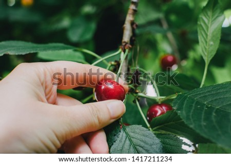 Hand picking fresh sour cherries from the tree. Healthy, organic food #1417211234