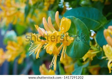 Blooming yellow honeysuckle Bush.  Flowering white-yellow Honeysuckle(Woodbine). Lonicera japonica, known as Japanese honeysuckle and golden-and-silver honeysuckle #1417291202