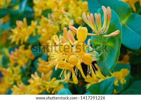 Blooming yellow honeysuckle Bush.  Flowering white-yellow Honeysuckle(Woodbine). Lonicera japonica, known as Japanese honeysuckle and golden-and-silver honeysuckle #1417291226